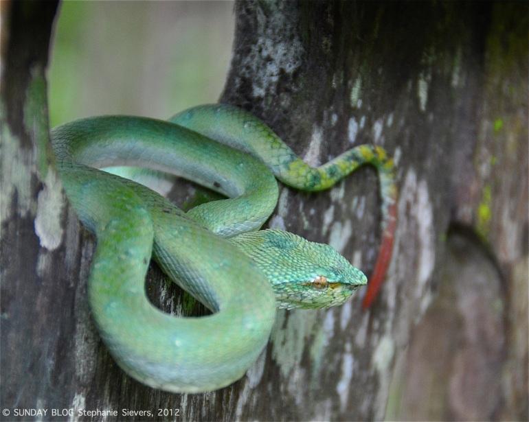 Snake, Borneo