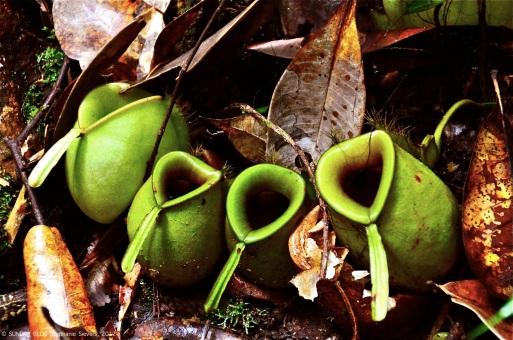 Pitcher plants, Borneo