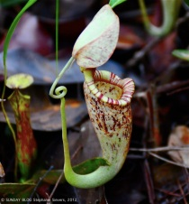 Pitcher plants, Borneo