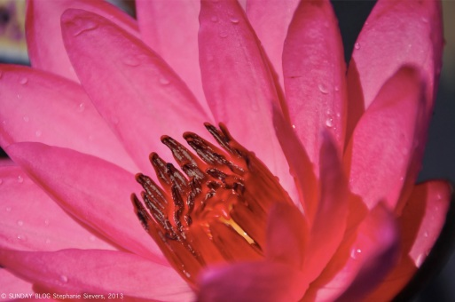 Lotus flower, Myanmar