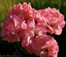 Roses of Il Castagno's garden
