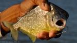 Pantanal – Piranha