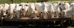 Pantanal – Cowherds