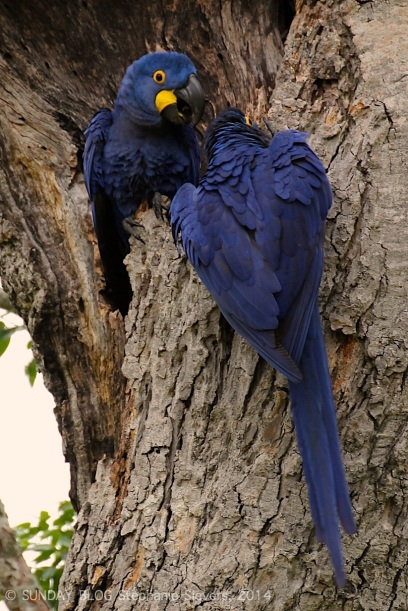 Pantanal - Blue Parrots